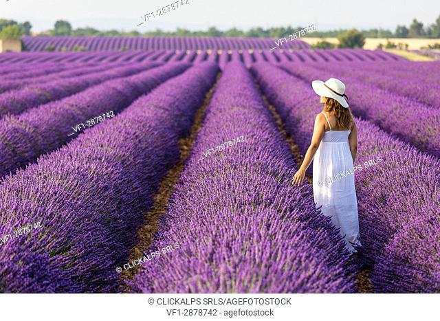 Woman with hat in a lavender field. Plateau de Valensole, Alpes-de-Haute-Provence, Provence-Alpes-Cote d'Azur, France, Europe