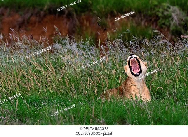 Lioness (Panthera leo) yawning, Tsavo, Coast, Kenya