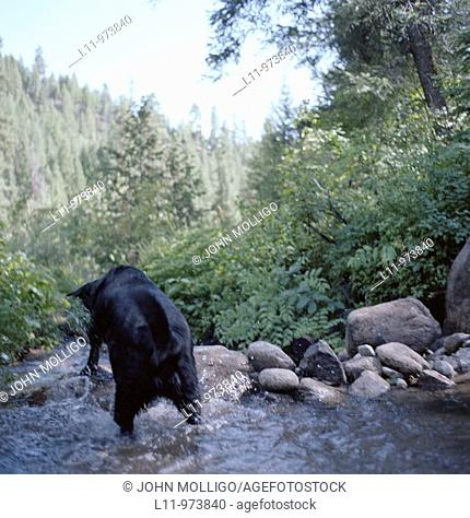 Black labrador retriever, from behind, in river