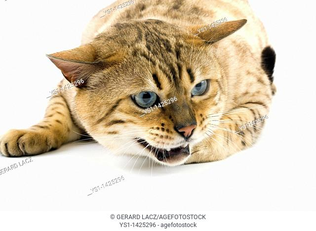 SEAL MINK TABBY BENGAL DOMESTIC CAT