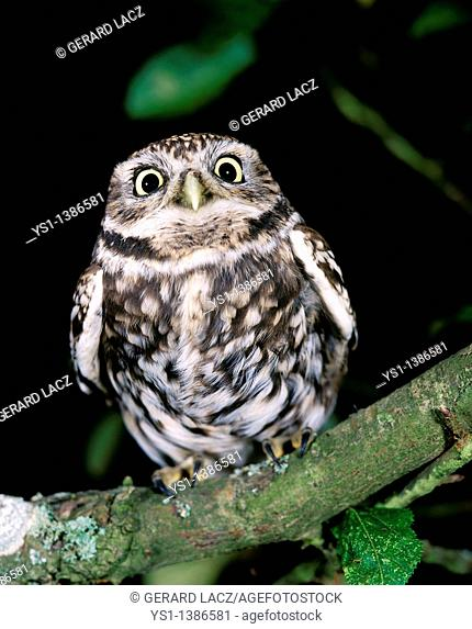 Little Owl, athene noctua, Adult standing on Branch