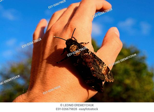 Dead head. The large massive butterfly belonging to family of brazhnik. Night insect