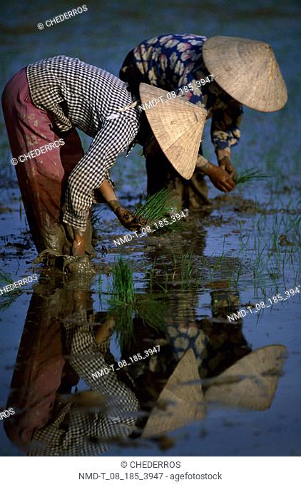 Farmer planting saplings in a rice paddy field, Vietnam