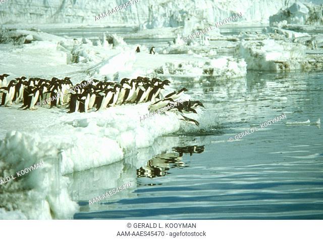 Adelie Penguins (Pygoscelis adeliae) McMurdo Sound