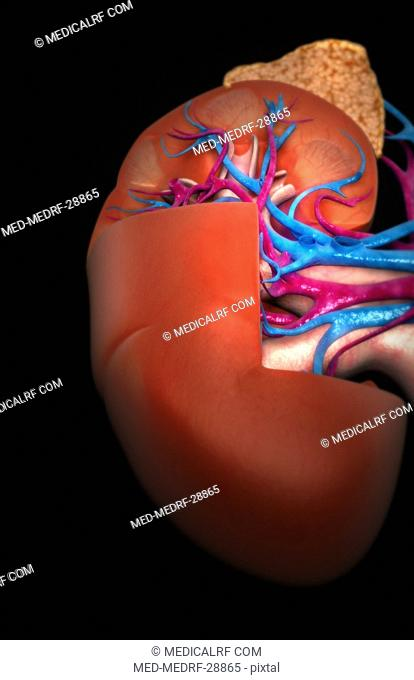 Blood supply of the kidneys