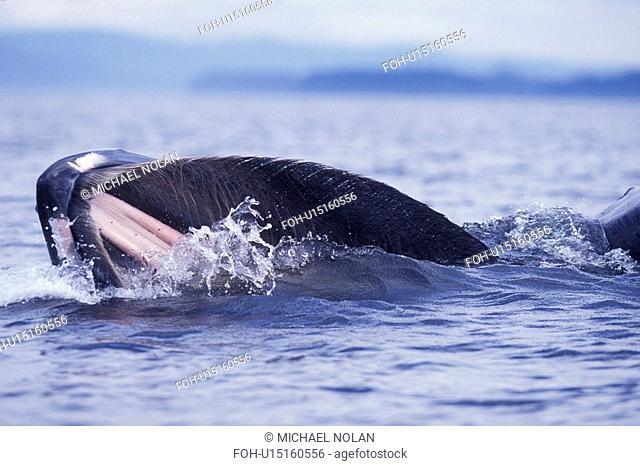 Humpback Whale Megaptera novaeangliae Adult surface lunge-feeding in Frederick Sound, Southeast Alaska, USA. Pacific Ocean
