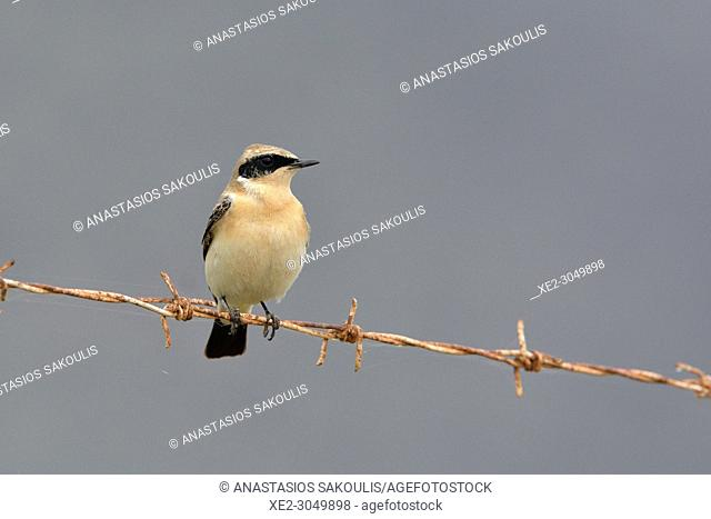 Black-eared Wheatear Oenanthe hispanica, Crete