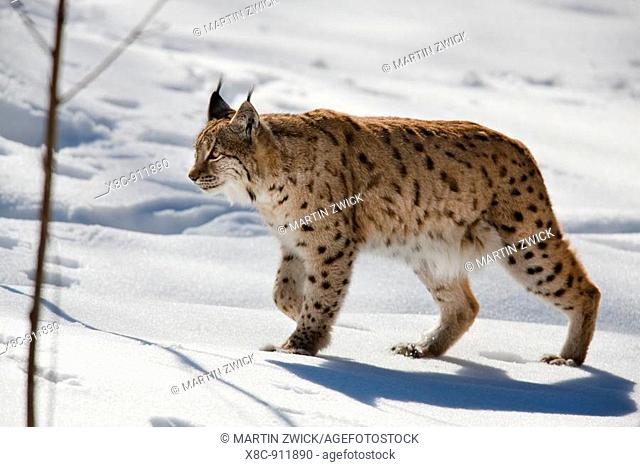 Portrait of Eurasian Lynx Lynx lynx walking in deep snow, subspecies carpathica, in winter and snow, captive  Europe, Germany, Bavaria