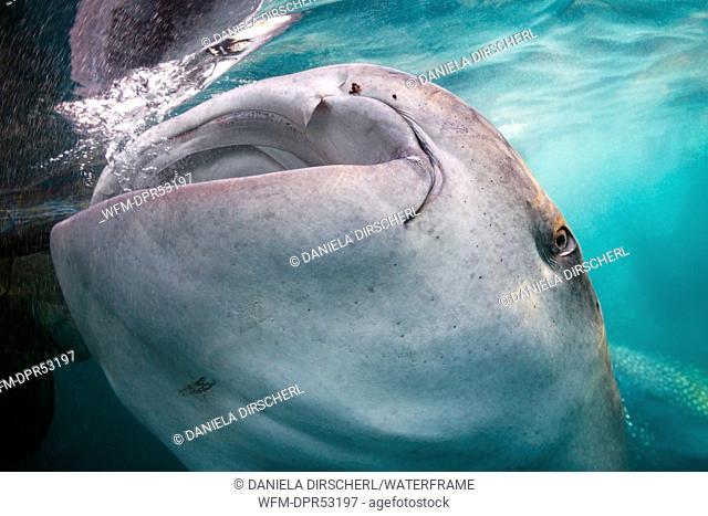 Whale Shark under Fishing Platform, Rhincodon typus, Triton Bay, West Papua, Indonesia