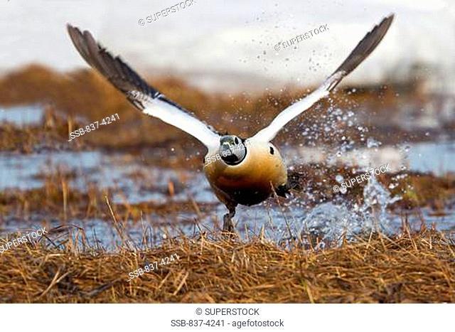 Steller's Eider Polysticta stelleri taking off from water