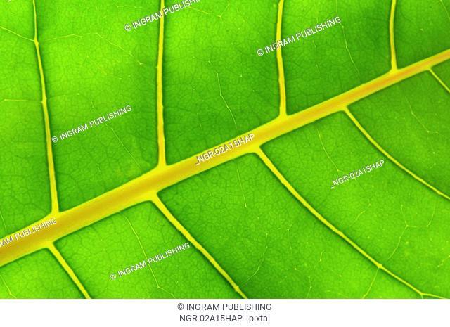 Backlit green leaf of a troplical plant close up