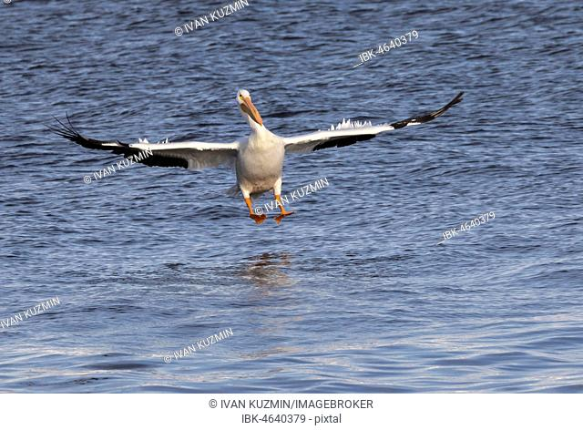 American white pelican (Pelecanus erythrorhynchos) landing on water, Mississippi river, Iowa