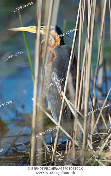 Purple Heron (Ardea purpurea), hiding himself behind reed, camouflage, marsh in the flood-plain forest, near river Bojana, Montenegro (Crna Gora), river Buna