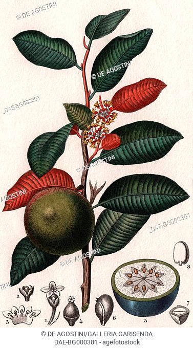 West Indian star apple (Chrysophyllum cainito), colour copper engraving, retouched in watercolour, 9x15 cm, from Dizionario delle scienze naturali compilato da...