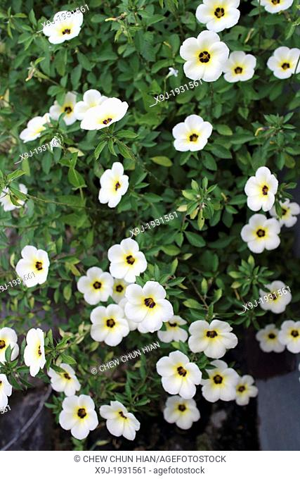Tropical white flowers, Borneo
