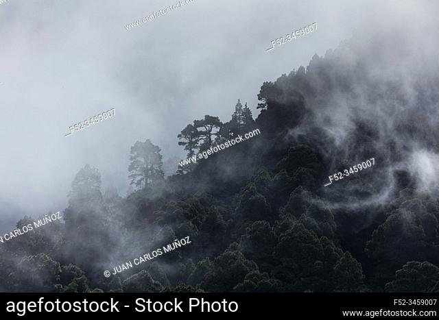 Fog in Canary Island pine forest, El Paso Municipality, La Palma island, Canary Islands, Spain, Europe