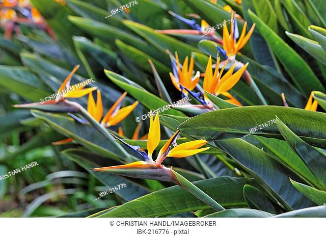 Bird of paradise or crane flower (Strelitzia reginae) botanical garden, Funchal, Madeira, Portugal
