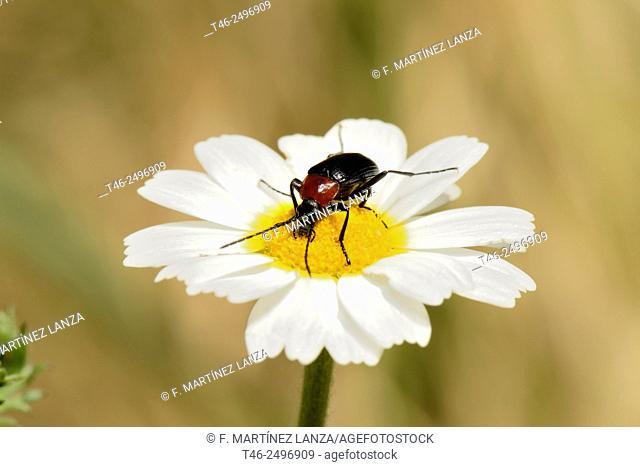 Heliotaurus ruficollis. It is a beetle darkling diurnal that can be found in large numbers on various species of flowers