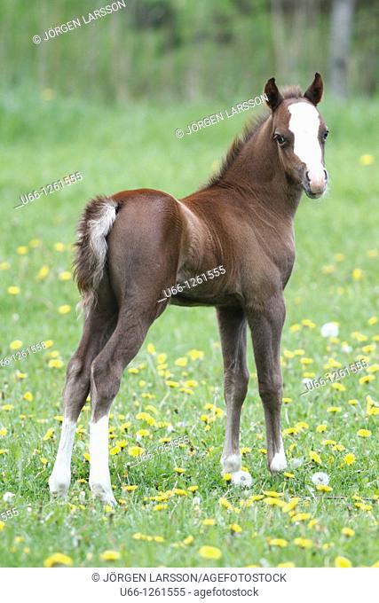 Welsh mountain, foal, Gnesta Soedermanalnd, swedeen