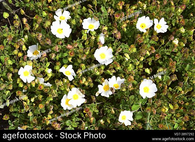 Sage-leaved rock-rose (Cistus salviifolius) is a shrub native to southern Europe and north Africa. This photo was taken in Dunas de Pals, Girona, Catalonia