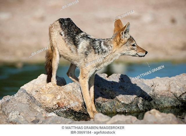 Black-backed Jackal (Canis mesomelas) at a waterhole, Kgalagadi Transfrontier Park, Northern Cape, South Africa