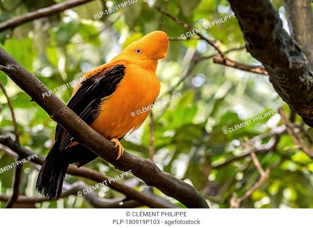 Andean cock-of-the-rock / tunki (Rupicola peruvianus) male native to Andean cloud forests in South America, perched in tree