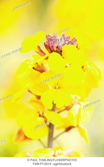Wallflower, Fragrant Star, Erysimum 'Fragrant Star', bright yellow flowers