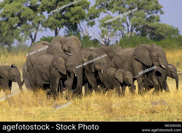 Herd of African Elephants, Loxodonta africana, Moremi Reserve, Botswana, Africa