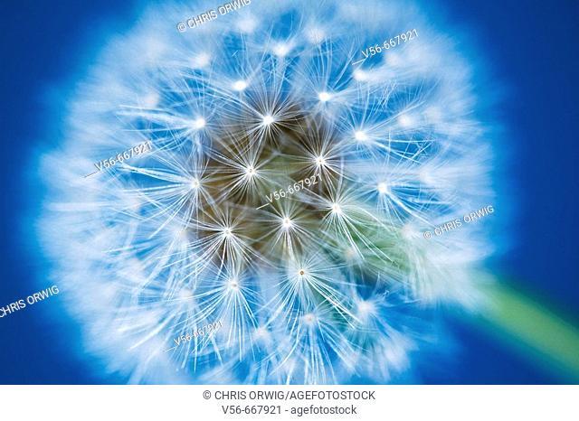 Dandelion in front of a blue sky