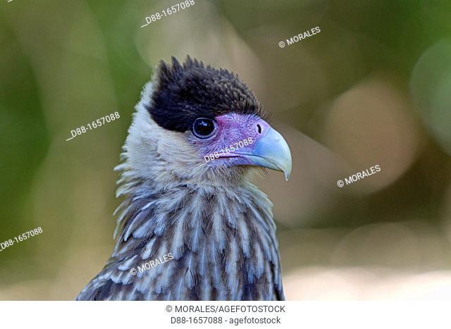 Brazil, Mato Grosso, Pantanal area, Crested Caracara Caracara plancus