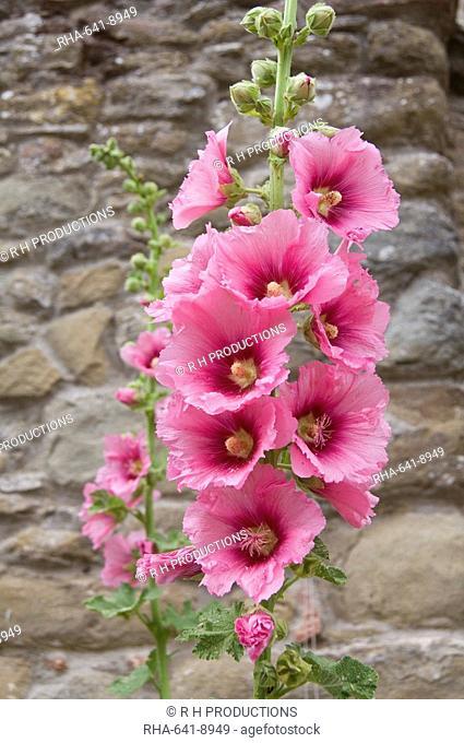 Flowers, Chianti, Tuscany, Italy, Europe