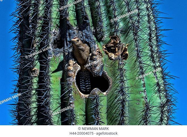 gila woodpecker, Arizona, nesting in saguaro cactus