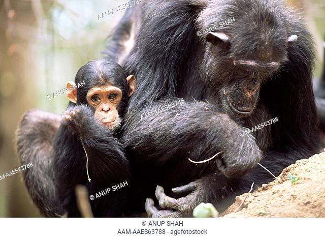 Baby Chimpanzee 'Furaha' watches mother 'Fifi' fish for termites with twig, example of tool using (Pan troglodytes schweinfurtheii) Gombe National Park