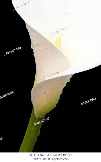 Arum lily, Calla lily, Zantedeschia aethiopica, Close-up of white flower against a black background showing stamen