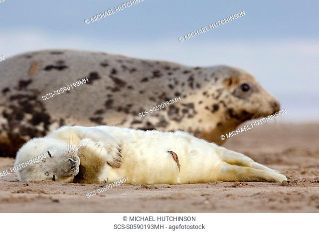 Grey Seal Halichoerus grypus young pup in white lanugo coat, umbilical cord visible and mother in background November Donna Nook, Lincolnshire, UK