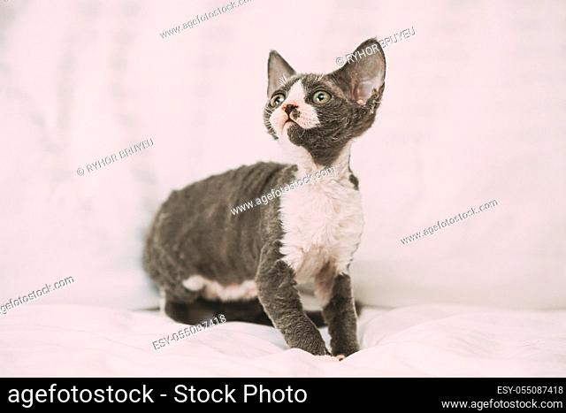 Funny Curious Young Gray Devon Rex Kitten Sitting At Home Sofa. Short-haired Cat Of English Breed