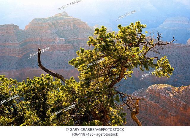 Sunset light on Colorado Pinyon pine Pinus edulis tree along the North Rim at Point Sublime, Grand Canyon National Park, Arizona