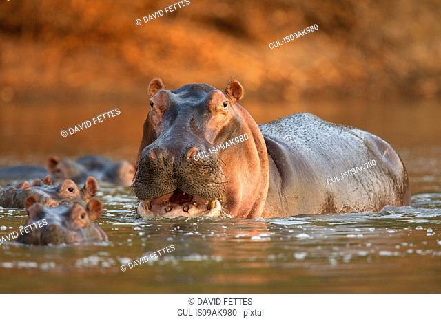 Alert hippopotamus (hippopotamus amphibius), Mana Pools National Park, Zimbabwe