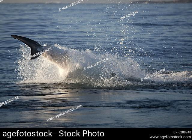 Great white shark, white shark, man shark, Great white sharks (carcharodon carcharias), white sharks, man sharks, Other Animals, Fish, Shark, Animals