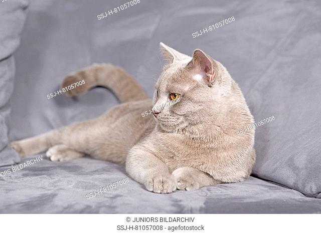 British Shorthair. Lilac tomcat (7 month old) lying on a couch. Germany