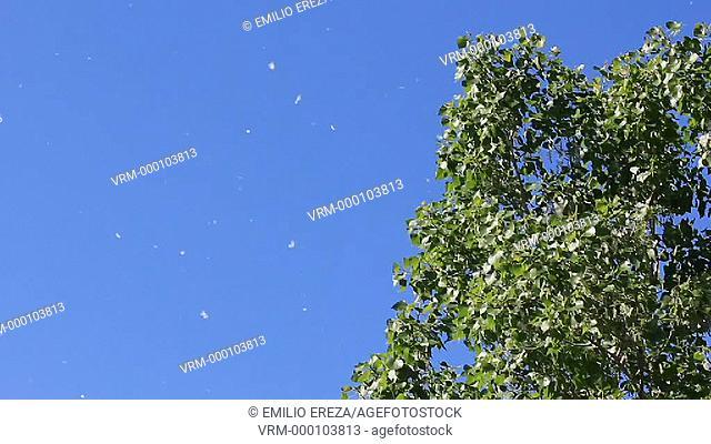 Poplar seeds floating in the air. Lleida, Catalonia, Spain