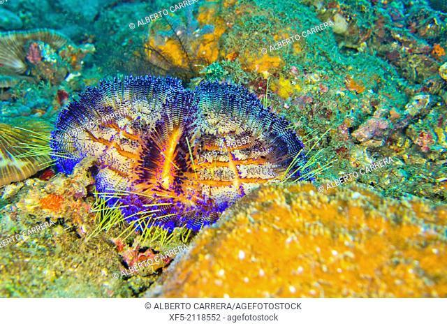 Sea Urchin, Variable Fire Urchin, Asthenosoma varium, Lembeh, North Sulawesi, Indonesia, Asia