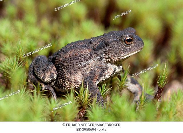 Common Toad (Bufo bufo), Emsland, Lower Saxony, Germany