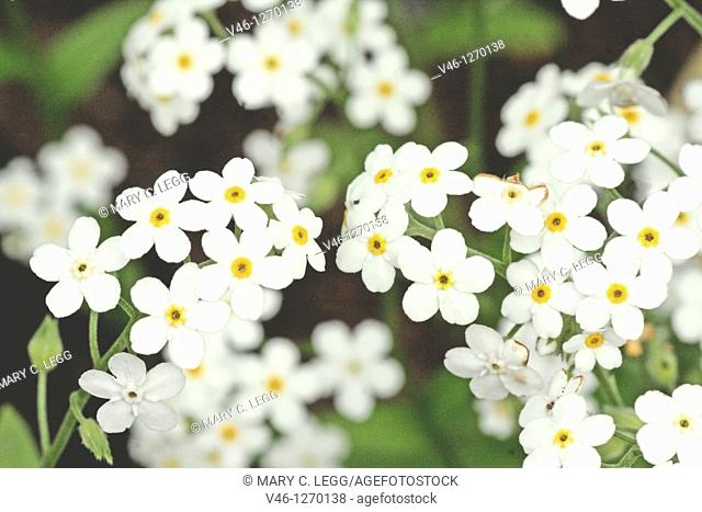White Forget-me-not, myositis against dark background  Delicate, white flower of multiple fragile blossoms  Ground cover  The flower's name originates from two...