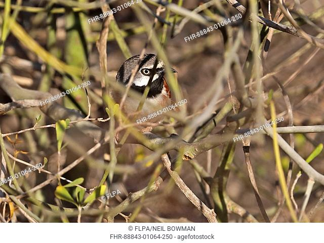 Red-shouldered Vanga (Calicalicus rufocarpalis) adult male deep in thorn bush, recently described Madagascan endemic La Tabla, Tulear, Madagascar     November