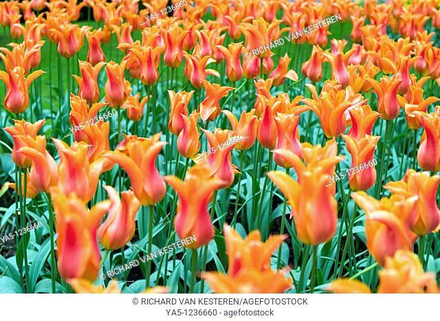 Ballerina tulips in the Keukenhof at Lisse the Netherlands  Type of flower: tulip, Lily-flowered Name: Ballerina