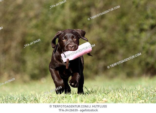 running Labrador Retriever Puppy