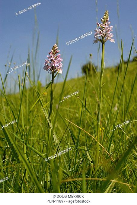 Field with common spotted orchids Dactylorhiza fuchsii