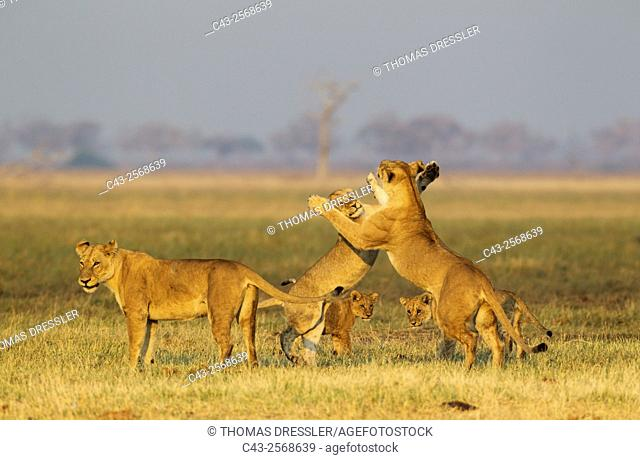 Lion (Panthera leo) - Three females and two cubs, playful in the early morning. Savuti, Chobe National Park, Botswana