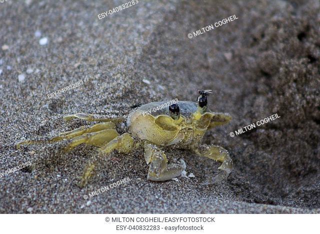 Atlantic ghost crab (Ocypode quadrata) on Treasure Beach, Jamaica